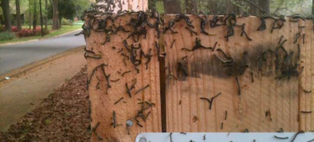 Fence post with heavy worms.  Waxhaw, NC