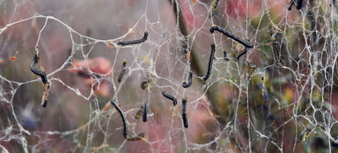 Webs from cankerworms on flower beds  West Charlotte, NC